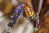 Flower & Butterfly (Stuart Borrett) Tags: 2017 follyhills northcarolina oakisland thanksgiving animal butterfly ecology flower nature pollination usa purple orange