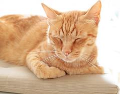 Mateo from Berlin (kirstiecat) Tags: katze cat orangecat catcafe mateo feline chat gato gingercat kitty caturday happycaturday catnap purr meow