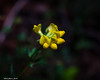 Yellow Petals Standing Out (that_damn_duck) Tags: plant petals blooming blossom nature