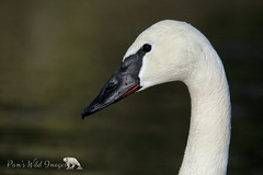 White Beauty (PamsWildImages) Tags: swan bird bc canada canon nature naturephotographer wildlife wildlifephotographer pammullins pamswildimages trumpeter