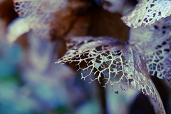 leftovers (nelesch14) Tags: withered fragile delicate macro flower hydrangea hortensia winter