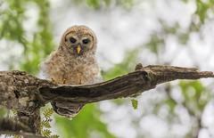 Fluff Ball (Ania Tuzel Photography) Tags: fluffy sowa swamp wildlife barredowl florida puszczyk tree wild owl bird photography usa youngbird birdofprey
