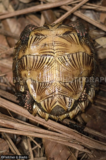 40817 Spiny Turtle (Heosemys spinosa) showing the characteristic pattern on the plastron, coastal hill rainforest, Perak, Malaysia. IUCN=Endangered.