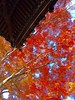 red leaves (hamapenguin) Tags: nature autumn fall yokohama garden 紅葉 横浜 三渓園 autumncolor apple iphone
