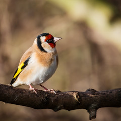 All that glistens ... (DavidHowarthUK) Tags: oldmoor southyorkshire rspb november 2017 goldfinch cardueliscarduelis