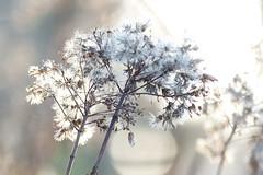 (evisdotter) Tags: light solljus sunny macro bokeh sooc autumn texture