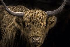 Seul son coiffeur le sait... (passion photos animalières) Tags: highlandcattle highland artmural décoration