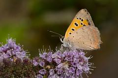 Lycaena phlaeas (keynowski) Tags: lycaenaphlaeas beneklibakır nature ngc animalplanet animal butterfly wild wildlife olmypus60mmmf28macro olympusmzuikodigitaled60mmf28macro olympusomdem1