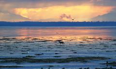 Coyote / Boundary Bay - 094A2215ac4 (Sue Coastal Observer) Tags: coyote canislatrans boundarybay delta bc britishcolumbia canada landscape