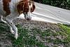 Laya sad cartoon edit (nikolaistevens) Tags: dog britneyspaniel spaniel hunting huntingdog goodgirl britney baddog gooddog wild nature wildlife hiking walking