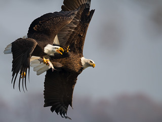 Bald Eagle Hand to Hand Combat