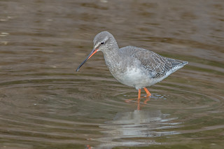 JWL9585  Spotted Redshank..