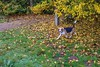 Fallen leaves (Frank Shepherd) Tags: outside natural colours nature beagle fall autumn leaves