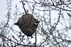 Wasp Nest (U.S. Fish and Wildlife Service - Midwest Region) Tags: fall 2017 october minnesota mn saintpaul stpaul fortsnelling statepark wasp nest paperwasp tree trees nesting nests wasps nature