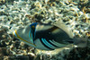 Picasso Trigerfish (Mickspixx) Tags: ladyelliotisland greatbarrierreef reef underwater dive snorkeling snorkel lagoon