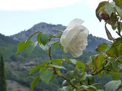 Mallorca - Kartause von Valldemossa (muckypuppy) Tags: espana spanien spain majorca malle balearen kirche kloster church blume rose flower