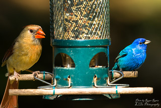 Cardinal Heading Blue