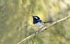 small bird series: ♂ superb fairy wren (Fat Burns ☮ (on/off)) Tags: superbfairywren maluruscyaneus smallbird bird australianbird fauna australianfauna wren fairywren bluewren nature nikond500 oxleycreekcommon brisbane sigma150600mmf563dgoshsmsports