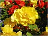Beautiful Begonias .. (** Janets Photos **) Tags: uk plants flowers flora colours begonias