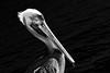Pelican (fabriciodo) Tags: pelican bird nb