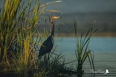 Héron goliath - Ardea goliath - Goliath Heron (denisfaure973) Tags: mps baringo masaimara oiseau