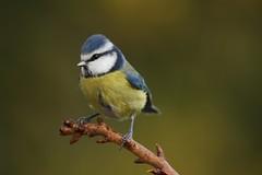 Blue Tit (Chris*Bolton) Tags: bluetit tit bird birds nature wildlife perch perched perching garden tree branch rathdrum wicklow ireland