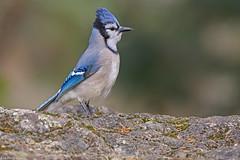 blue jay Victoria bc a rare bird for Vancouver island (lee barlow) Tags: nikon200500 vancouverisland ngc bluejay britishcolumbia birdsofnorthamerica cyanocittacristata birdsofcanada leebarlow canada victoriabc d7200 nikon
