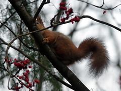 Sciurus vulgaris (Wanha-Erkki, Old Eric, Gammal Erik, Старая) Tags: orava redsquirrel sciurus vulgaris