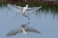 DSC_0904_DxO_pn - Grande Aigrette - Ardea alba - Great Egret (Berzou) Tags: leteich grandeaigrette ardeaalba greategret aigrette bird oiseau nature naturebynikon fantasticnature nikond7200 tamron150600