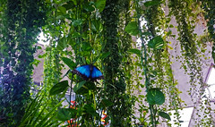 Blue host (Irina.yaNeya) Tags: dubai uae emirates nature park butterfly green plants trees light windows wall dubái eau naturaleza parque mariposa verde plantas árboles luz ventanas pared دبي‎‎ الامارات طبيعة حديقة منتزه فراشة أخضر نباتات أشجار ضوء نافذة дубаи оаэ эмираты природа парк бабочка зелень растения деревья свет окна стена