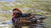 Mandarin duck in Charlottenburg Palace gardens, Berlin (marekidec) Tags: 2017 aixgalericulata berlin birds mandarinduck