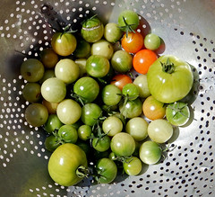Green tomatoes, picked before the first hard frost. (carpingdiem) Tags: indianapolis fall tomatoes