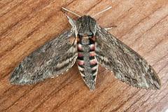 1972-P1120392 Convolvulus Hawk-moth (Agrius convolvuli) (ajmatthehiddenhouse) Tags: stmargaretsatcliffe kent uk 2016 garden moth sphingidae agrius convolvuli agriusconvolvuli convolvulushawkmoth