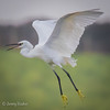 Squawk (JKmedia) Tags: egrets sparring fighting birds egret boultonphotography canoneos7dmarkii ef100400mmf4556lisusm 14xextender wales anglesey cemlyn 2017 wildife inflight pair wings feathers nature inair midair egrettagarzetta littleegret