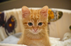 Spritz (En memoria de Zarpazos, mi valiente y mimoso tigre) Tags: kitten cat kitty gatto micio gato katze chat neko ginger orangetabbymiciorossospritz spritzeddu gatito chatonroux