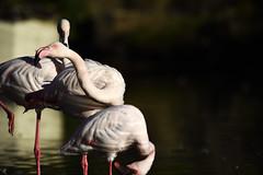 Flamingo (Michael Döring) Tags: gelsenkirchen bismarck zoomerlebnsiwelt zoo goldeneroktober flamingo afs200500mm56e d7200 michaeladöring