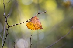 solo performance (Emma Varley) Tags: autumn leaf november solo yellow barebranches bokeh light earlymorning