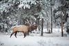 1L0A8711 (kayaker72) Tags: elk banffnationalpark wildlife canada canadianrockies