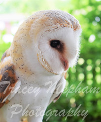 BirdDSC_5216 (2) wm (traceymepham) Tags: tracey mepham photography andover wall art picture bird birds nature wild wildlife fly wing wings feathers barn owl captive show display luna feather beak soft tame