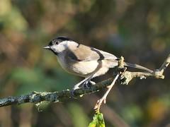 Marsh Tit  P1490651 (ianpreston) Tags: 2017 calkeabbey derbyshire ticknall nationaltrust marshtit