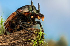 Two-horned dung beetle (andre de kesel) Tags: dungbeetle scarabaeidae mikembo drcongo katanga miombo sonya7rm2 canonmpe65mm metaboneseftosonye zerenestacker cognisysstackshot godoxad200 focusstacking stagedinsects coleoptera africa insect macro