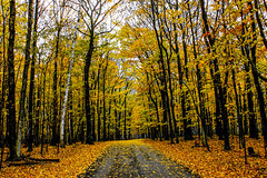 Yellow Leaves Vibrant by T A Williams Photography -