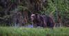 Grizzly Bear - Male (Turk Images) Tags: britishcolumbia coastalrainforest greatrainforest grizzlybear ktzimadeengrizzlybearsanctuary khutzeymateengrizzlybearreserve maritimecoast ursusarctoshorribilis breedingseason bears mammals ursidae