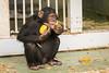 2017-11-14-13h05m42.BL7R2569 (A.J. Haverkamp) Tags: ajani canonef100400mmf4556lisiiusmlens amsterdam noordholland netherlands zoo dierentuin httpwwwartisnl artis thenetherlands chimpansee chimpanzee dob27082013 pobamsterdamthenetherlands kakifruit diospyroskaki nl