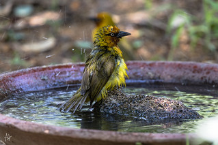 Spectacled Weaver (Ploceus ocularis) enjoying a bath