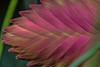 Bromelia 'Anita' (SPP - Photography) Tags: bromelia'anita' usa ef100mmf28lmacroisusm sigma2xextender plants saintpaulmn flower blossom flowersplants bloom canon canon6d twincities 100mm pink 6d nature blooms macro macro100mm eos6d saintpaul comopark como marjoriemcneelyconservatory blooming mn blossoms flowers minnesota