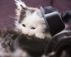 20170908_4693c (Fantasyfan.) Tags: kitten fantasyfanin kuunkissan devasa dost