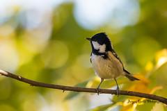 Ma première mésange noire (Jacques GUILLE) Tags: labege oiseau mésangenoire 31 coaltit hautegaronne paridés passériformes periparusater bird labège occitanie france fr