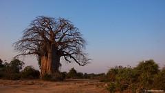 IMGP1834 Majestic Baobab (Claudio e Lucia Images around the world) Tags: lowerzambesi zambia nationalpark wildafrica bestofafrica fantasticafrica pentax pentaxlens pentaxk5 pentax18135 baobab bigbaobab