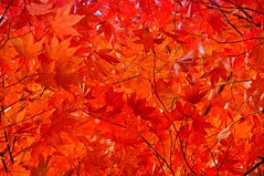 a fun with colours  - Red Saturday (Eggii) Tags: october rogów leaves red colours chaos